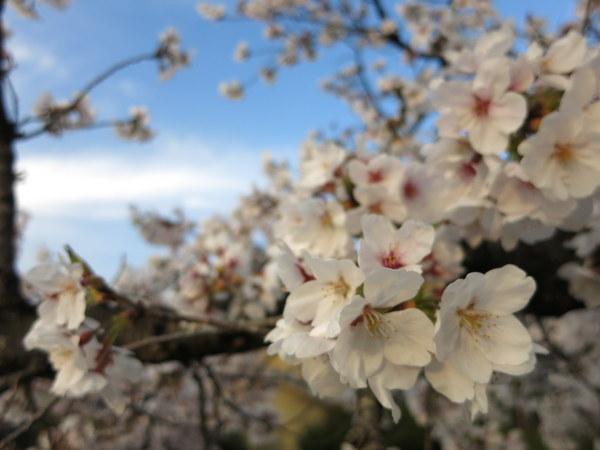 桜13.4.1⑤