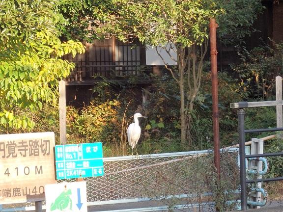 白鷺 北鎌倉2014
