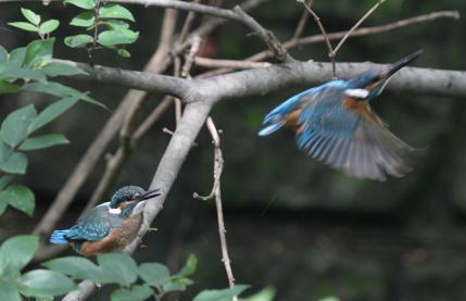 0814_3_イカルを見送る幼鳥