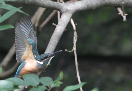 0814_4_イカルを追う幼鳥
