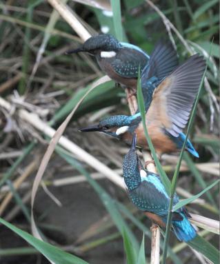 0814_5_幼鳥の兄弟喧嘩