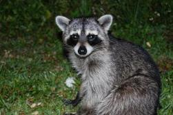 raccoon-cuddly_19-104380.jpg