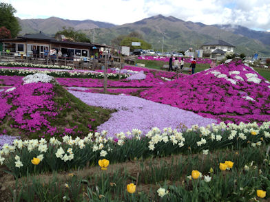 2012.5.4芝桜