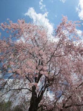 2012.5.5桜