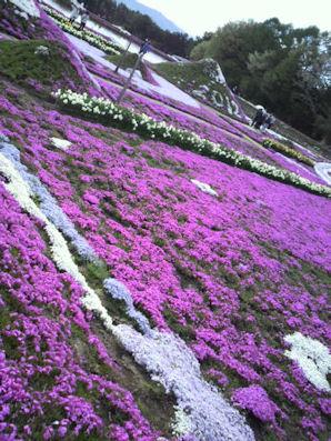 2012.5.4芝桜2