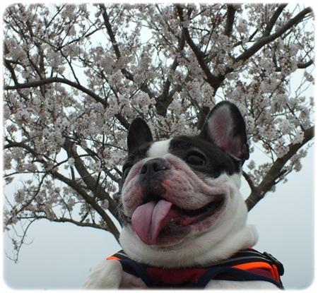 桜とモ子 2013