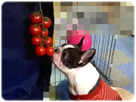 たわわなトマト