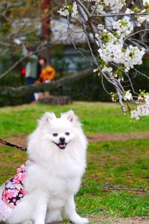 2013御苑桜5