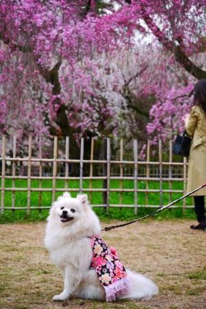 近衛邸付近桜3