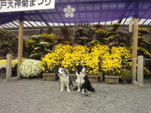 亀戸天神菊祭り4