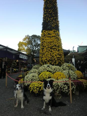 亀戸天神菊祭り2