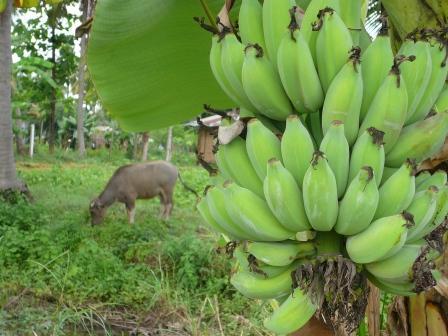 バナナと牛