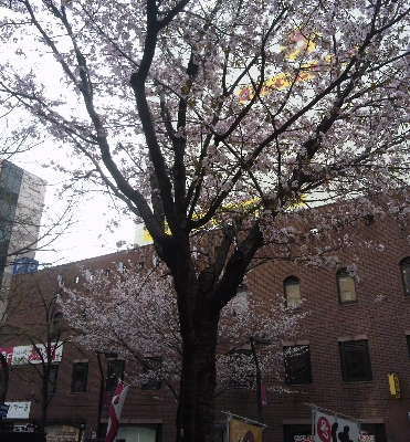 狸小路近くの桜