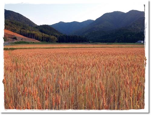 2012・6・14・麦畑