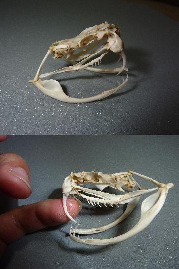 ホンハブ頭骨