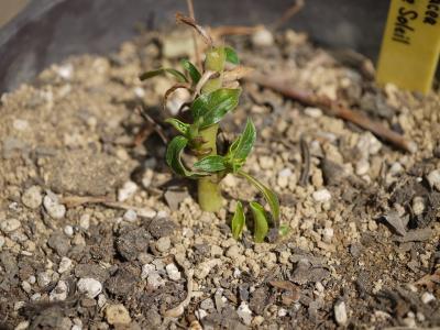 Echinacea perpurea Coupe Soleil