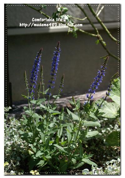 サルビア西花壇web用