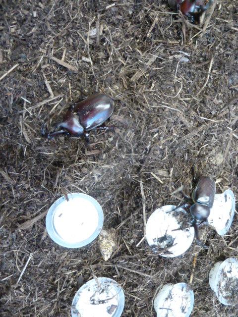 01昨年生まれた卵を手塩にかけて育てたカブトムシが次々と孵化しました
