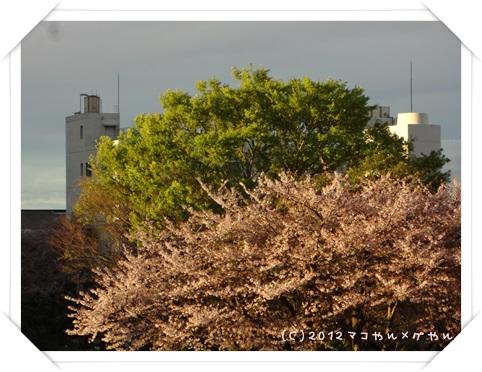 sakura201310.jpg