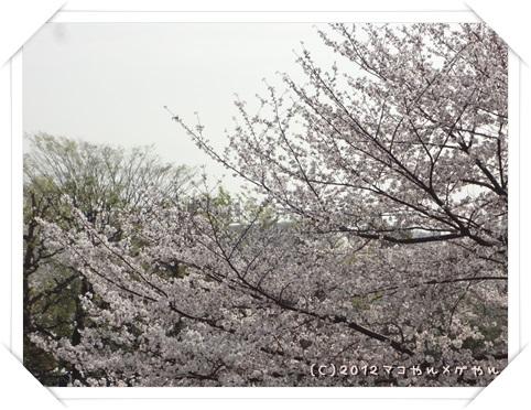 sakura20137.jpg