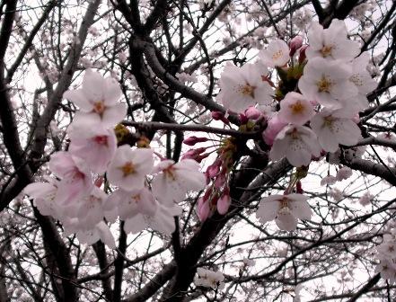 (;´д`)トホホ…の花見2