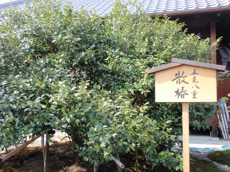 地蔵院・五色散り椿