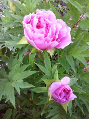 庭の花たち