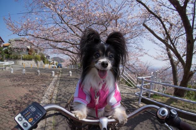 自転車でお花見♪-001