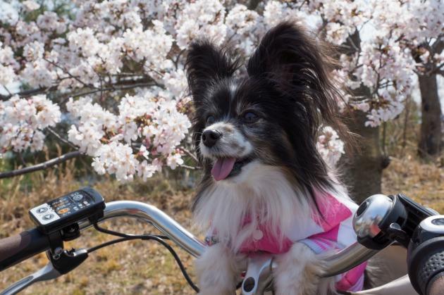 自転車でお花見♪-002