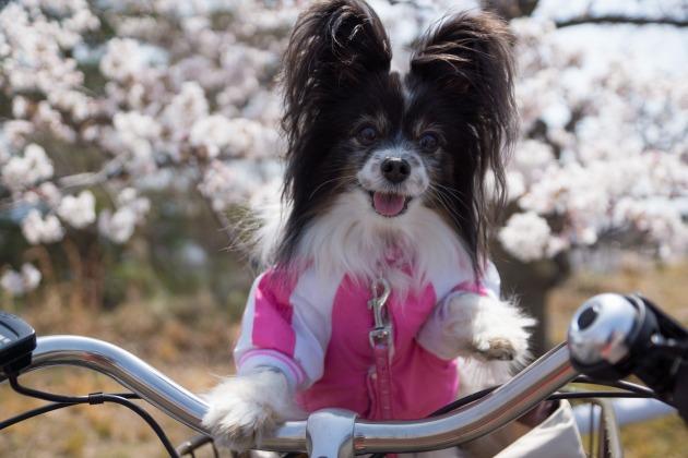 自転車でお花見♪-003