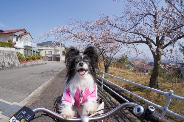 自転車でお花見♪-006