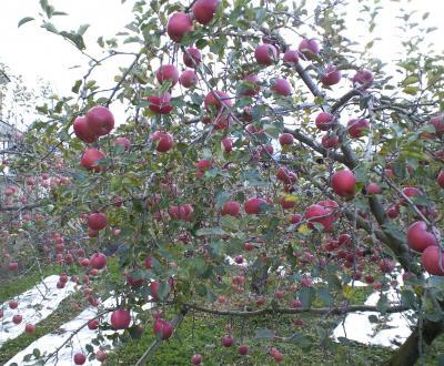 今日もフジ収穫(25.11.28)