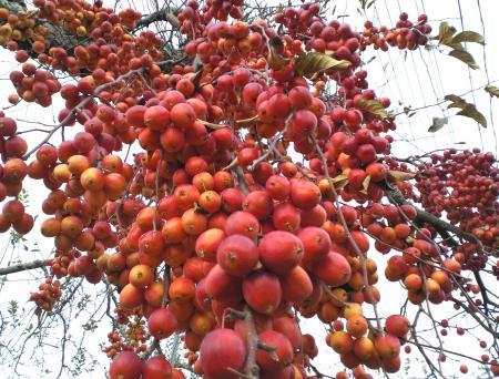 リンゴ受粉樹の実(25.12.9)