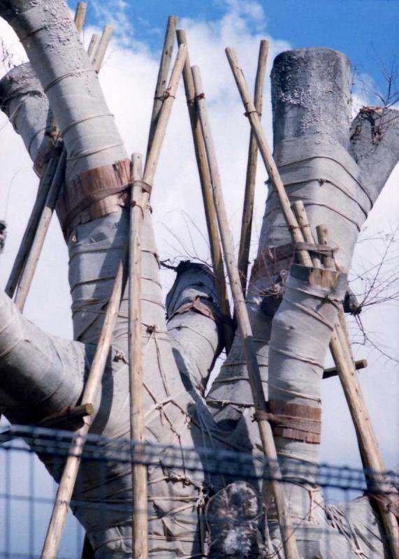 巨木とテープ