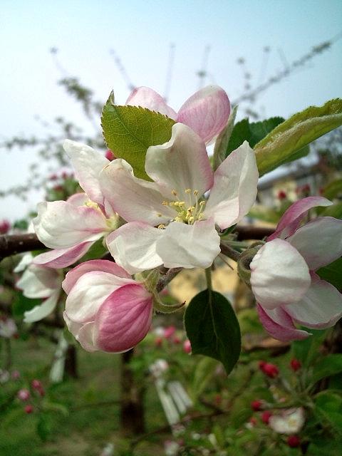 信州飯田 りんご並木のりんごの花 2011年4月