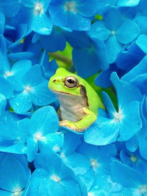 2011年 紫陽花と蛙と