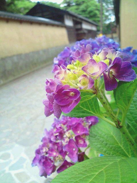 紫陽花と武家屋敷と