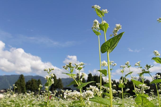 富山県南砺市のソバ畑