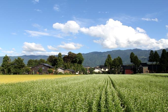 富山県南砺市のソバ畑 黄金色の稲穂と