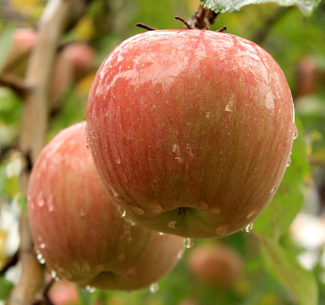信州飯田 りんご並木のりんご 2011年11月