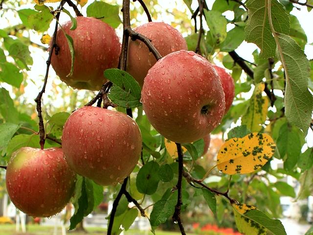 信州飯田 りんご並木のりんご