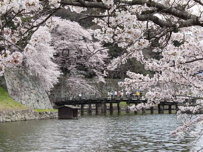 彦根城 お堀と桜
