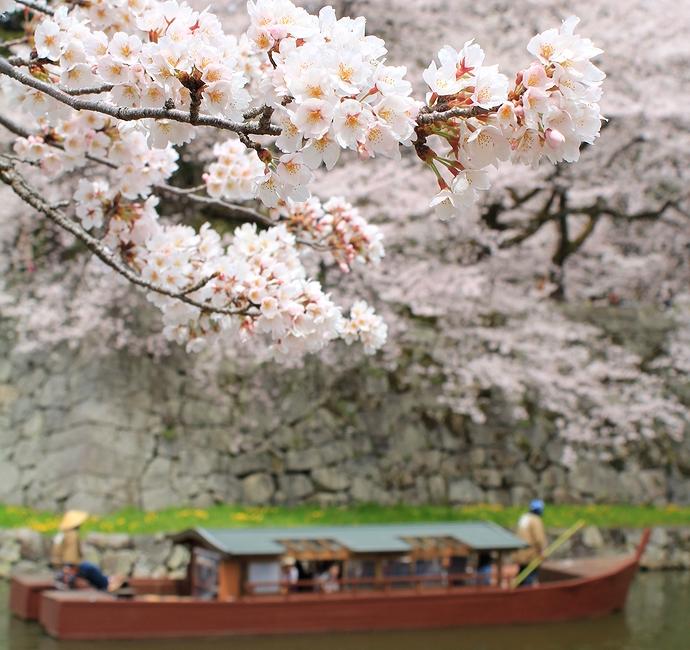 彦根城 お堀の桜と屋形船