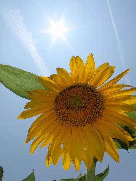 ヒマワリと太陽と