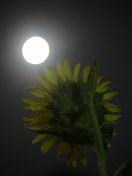 月光に照らされたひまわり