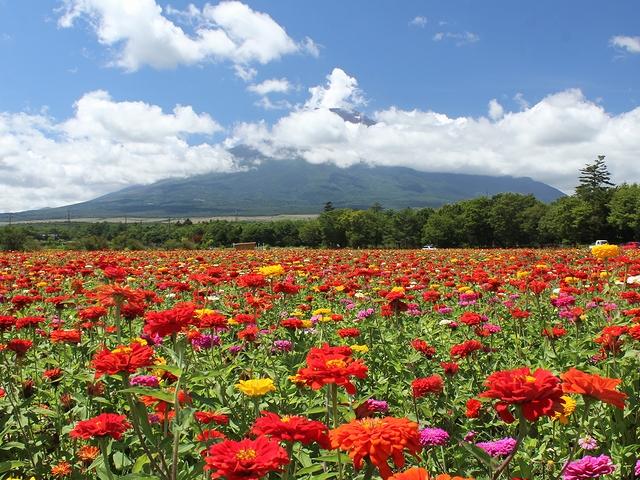花の都公園 百日草と夏富士