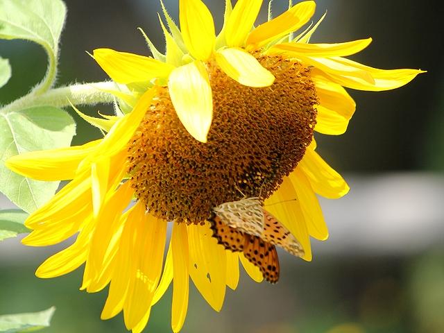 夏の終わりの向日葵