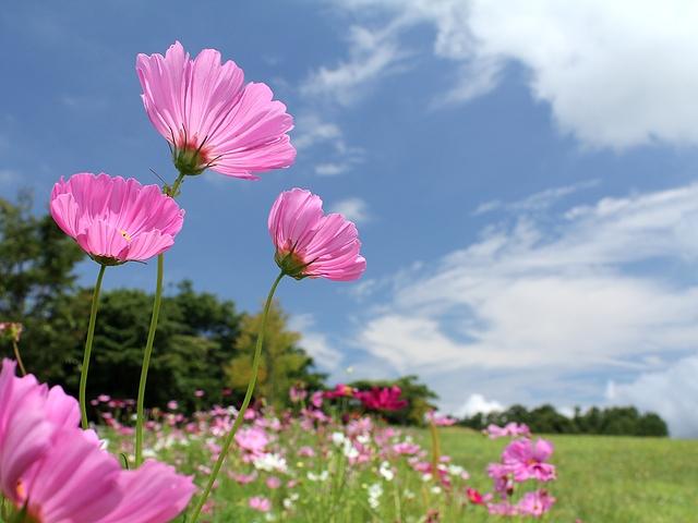 青空とコスモス 石川県金沢市キゴ山