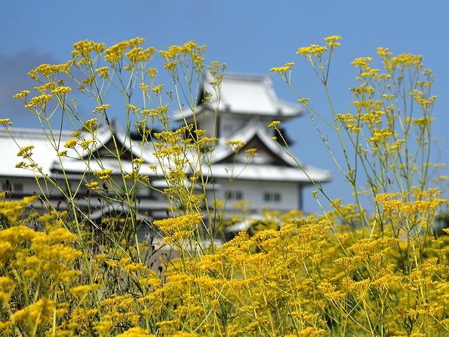 金沢城のオミナエシ