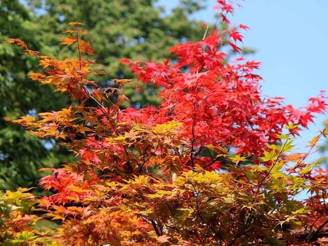 早くも色づいた木 金沢城公園